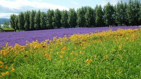 Vườn hoa oải hương tim tím và loa kèn vàng nở rực rỡ